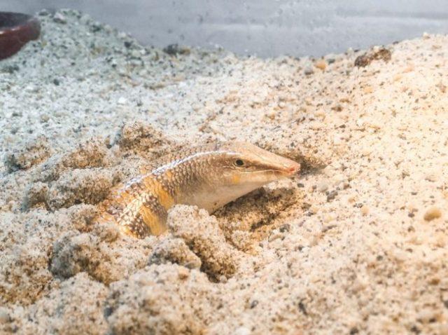 sandfish terrarium size requirements