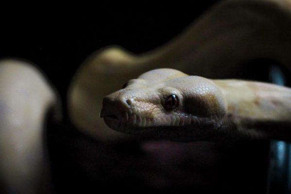 Boa constrictor morphs - orangasm morph - josh laquinta