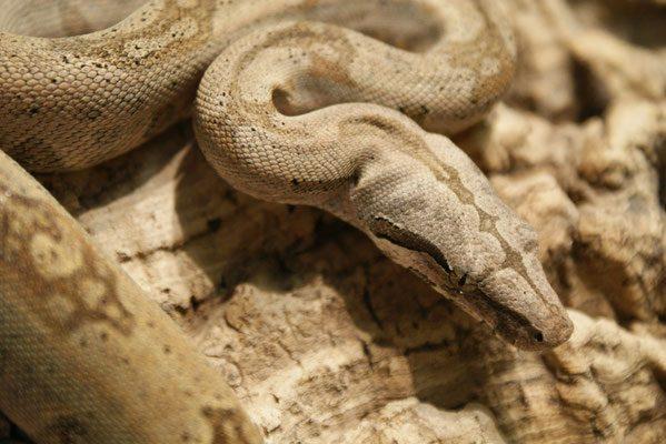 Boa constrictor subspecies - orophias - sebastian holch