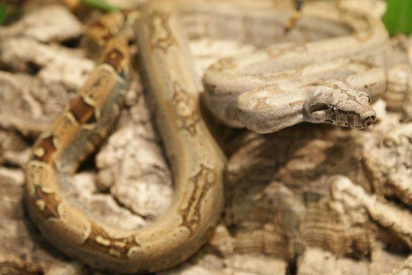 Boa constrictor subspecies - orophias5 - sebastian holch