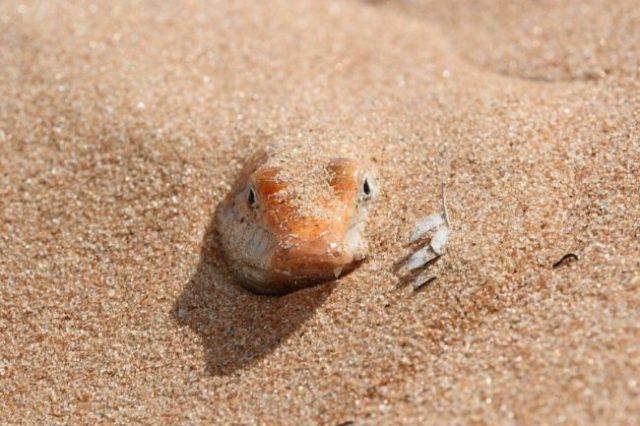 Scincus mitranus - Pet Sandfish Supplies List