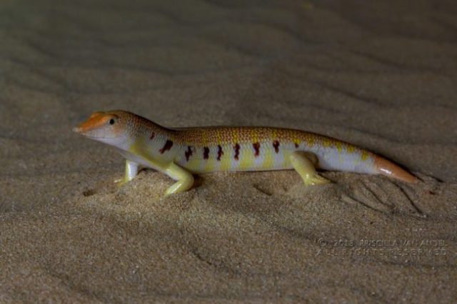 Scincus mitranus - Sandfish Lighting, Temperatures & Humidity Requirements