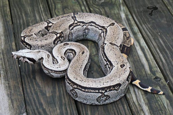 Boa constrictor subspecies - boa constrictor amarali