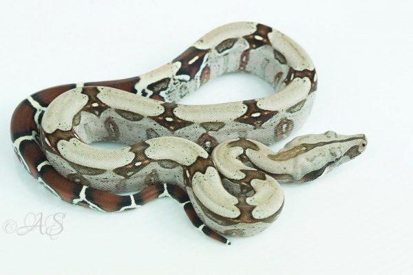 Boa constrictor subspecies - suriname bcc - antonello stambe