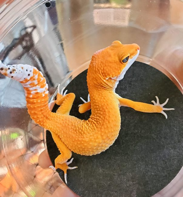 Tango Crush Tangerine morph leopard gecko - Wasatch Reptile Expo Spring 2019