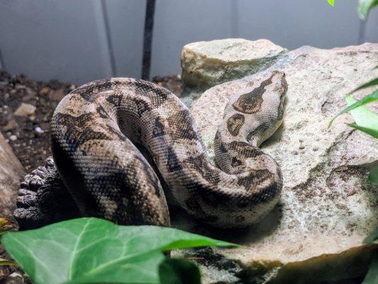 Boa species - boa imperator - tarahumara boa