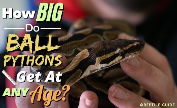 Ball Python Archives - Reptile.Guide
