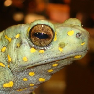 DM Exotics Yellow Spotted Green Tree Toad