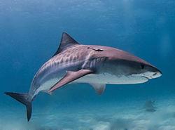 250px-Tiger_shark