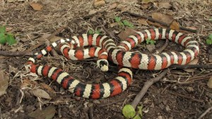 The Arizona Mountain Kingsnake needs cooler temperatures for longer periods due to it's natural habitat.