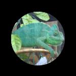Chameleons-Circle