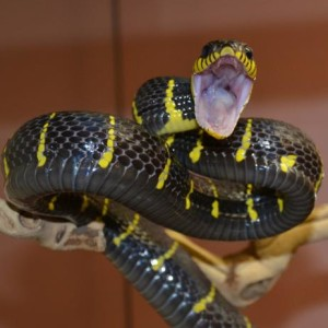 Mangrove Snake Threat display
