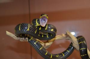 Mangrove Snake Threat display