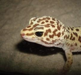 Eublepharis macularius Leopard Gecko
