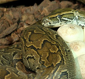 """Female Python sebae brooding eggs Tropicario, FIN"" by Tigerpython - Own work. Licensed under CC BY-SA 3.0 via Wikimedia Commons."