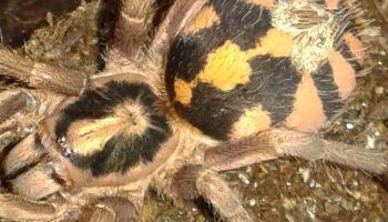Vietnamese Centipede | Scolopendra subspinipes/-/ReptileApartment com