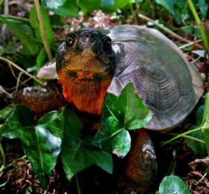 Face of North American Wood Turtle