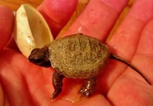 hatchling wood turtle