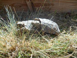 Mating Pancake Tortoises