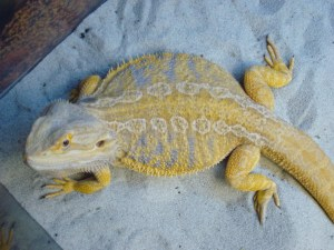 Lizard bearded dragon pogona sp