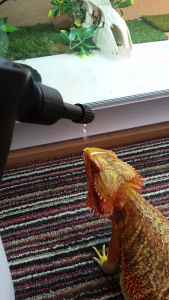Bearded Dragon Drinking via a dripper