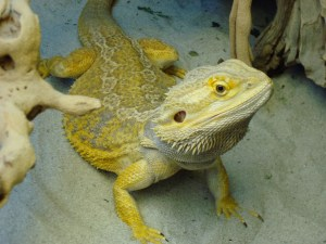 Bearded Dragon Pogona Vitticeps