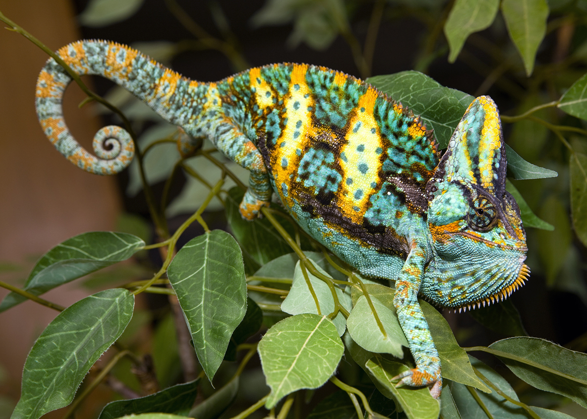 Think You Want A Chameleon