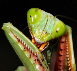 cleaning mantid