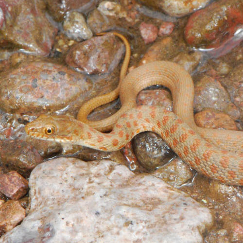 Two Garter Snakes to be listed as Threatened