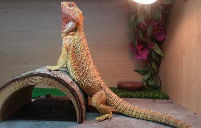 Basking Dragon