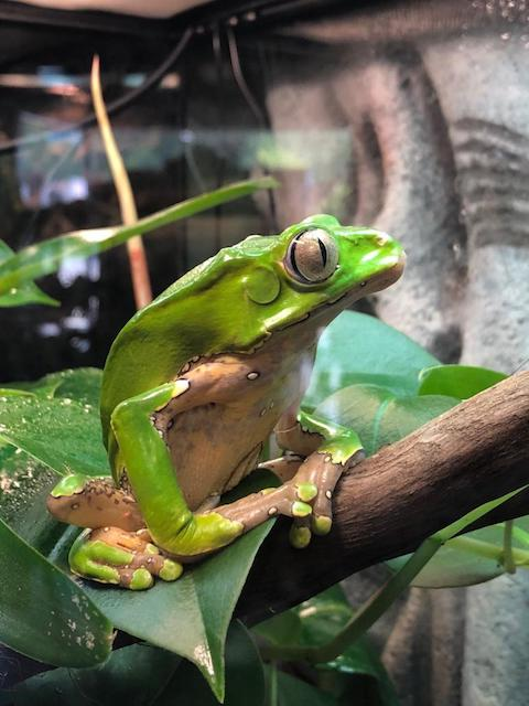 Z OUT OF STOCK Bi Color WC WAXY MONKEY TREE FROG Phyllomedusa Bicolor