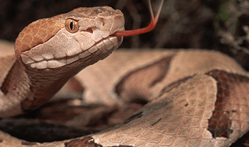 slider-reptiles-online-serpent-marron