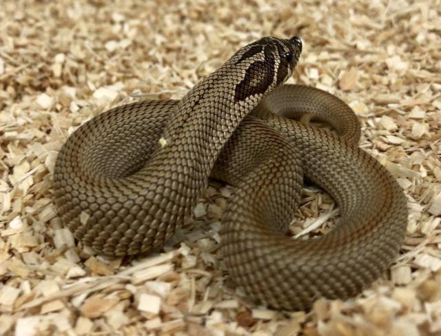 10 Stunning Western Hognose Snake Morphs - ReptileWorldFacts