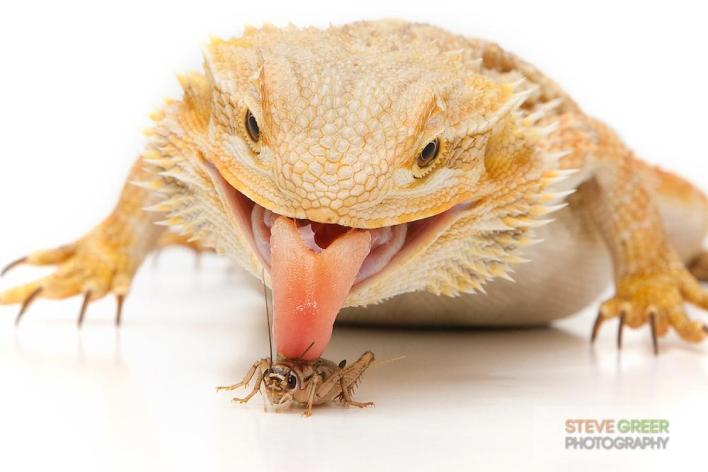 Bearded dragon eating a cricket