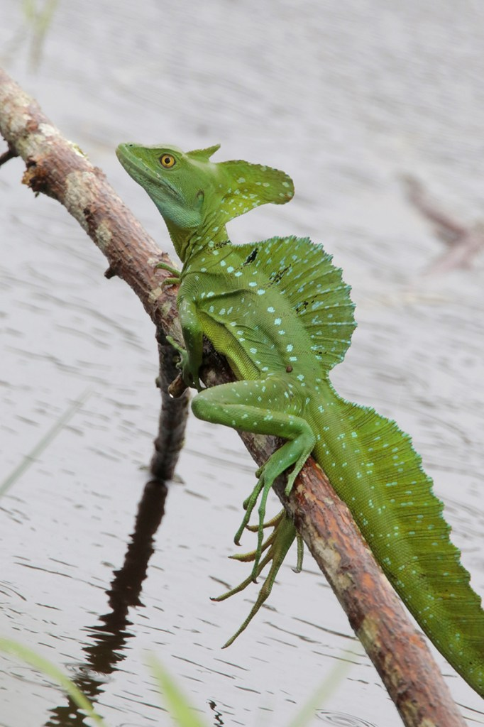 Top 10 Plumed Basilisk Facts - The lizard that can walk on ...