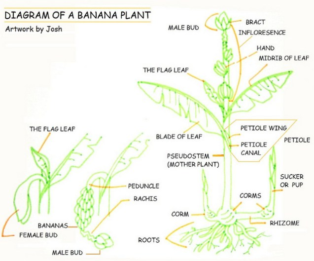 Diagram of Banana Plant | ReRoot America