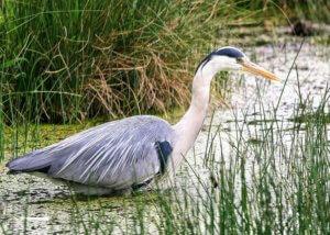 James River Heron re|RVA