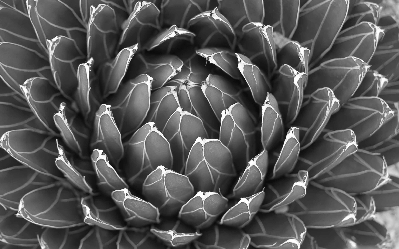 Macbook Pro Wallpaper Hd 1280x800 Cactus Plant Black And White Mac Wallpaper Download