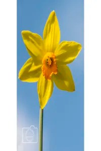 A daffodil greetings card linking to Etsy store