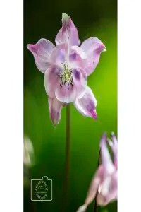 A pink aquilegia flower greetings card linking to Etsy store