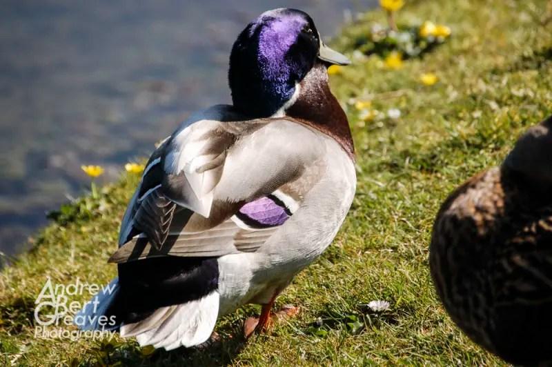 A purple headed mallard duck