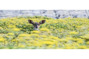 Deer in a field of yellow card linking to Etsy  to buy