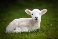 Awww, look... A cute little lamb... | Photography ...