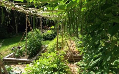 Pole beans in summer garden