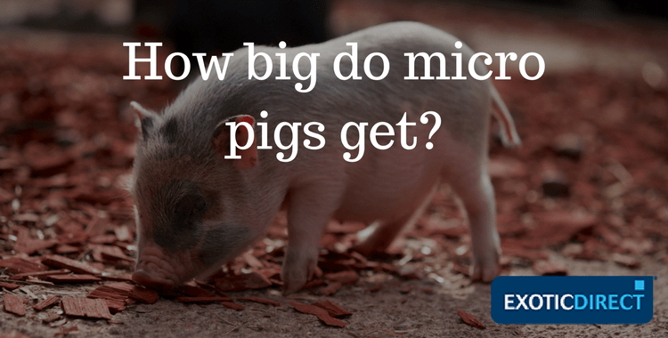 Pigs Do How Fully Grown Big Micro Get When