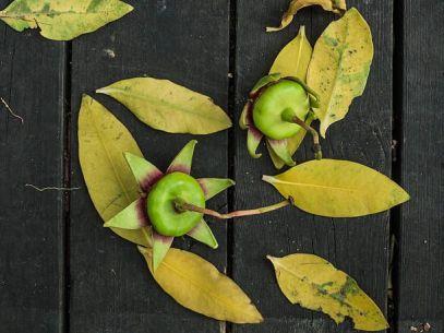 Khasiat Dan Manfaat Tanaman Mangrove Bagi Kesehatan