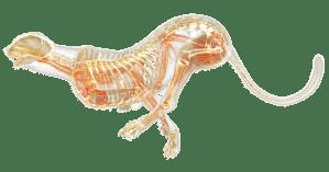 Cheetah Anatomy   Cheetah Facts   DK Find Out