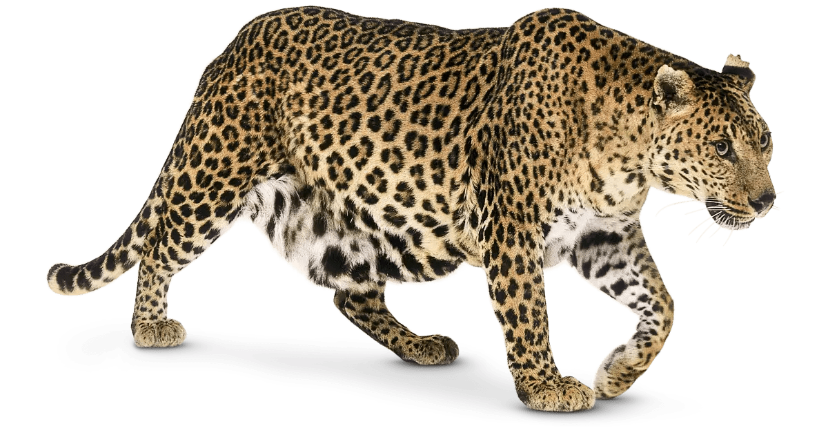 leopard facts for kids