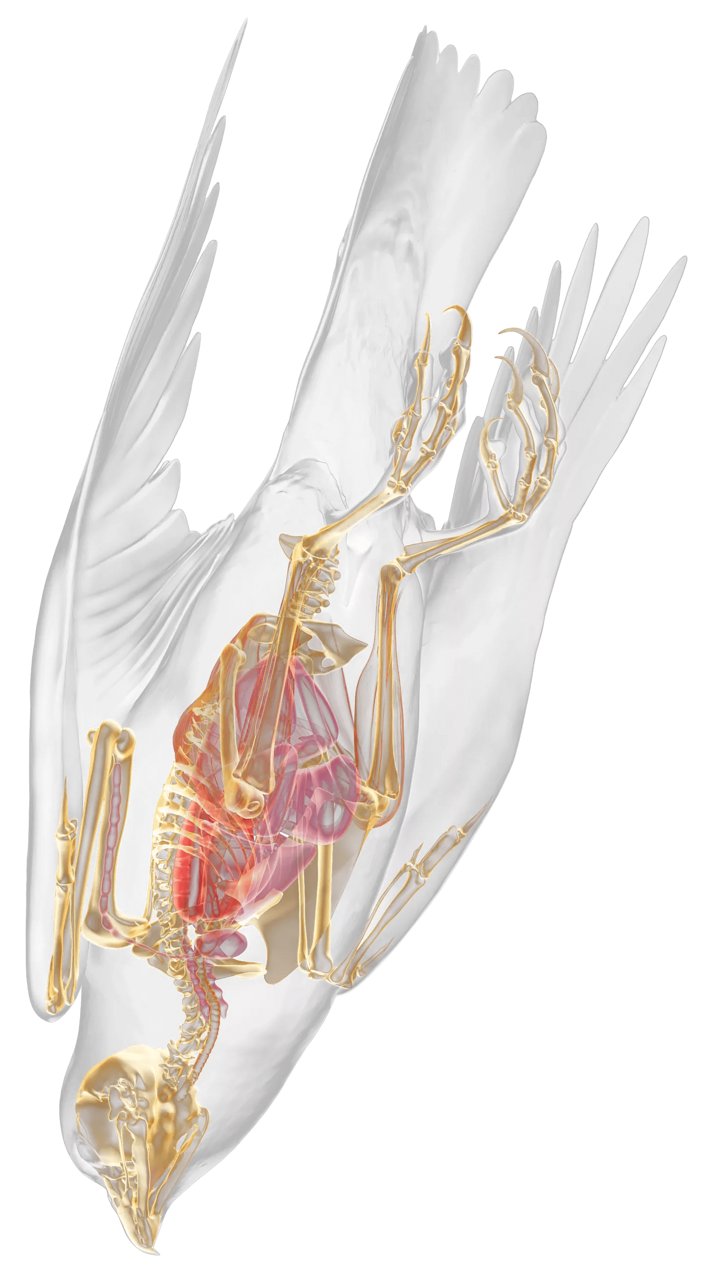 human bone structure diagram table lamp wiring falcon skeleton | anatomy dk find out