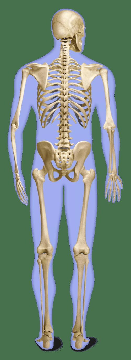 small resolution of the skeleton l rd back skeleton g final flat slii12
